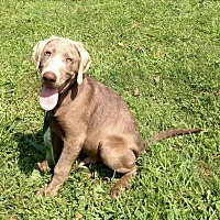 Adopt A Pet :: Awesome AKC SILVER LAB - WOODSFIELD, OH