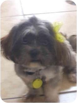 El Paso Tx Lhasa Apso Meet Tabitha A Pet For Adoption