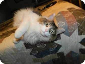 Plainfield, CT - Maine Coon  Meet Whiskers a Pet for Adoption