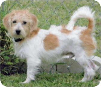 Terra Ceia Fl Jack Russell Terrier Meet Tj A Pet For Adoption