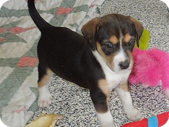 Washington Pa Beagle Meet Maizys Puppies A Pet For Adoption