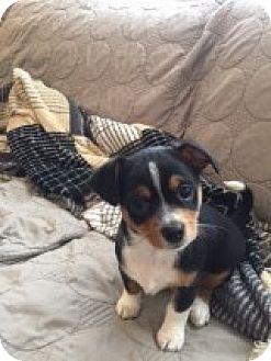 Shih Tzu Mix Puppy for adoption in Las Vegas, Nevada - Hailey's Comet