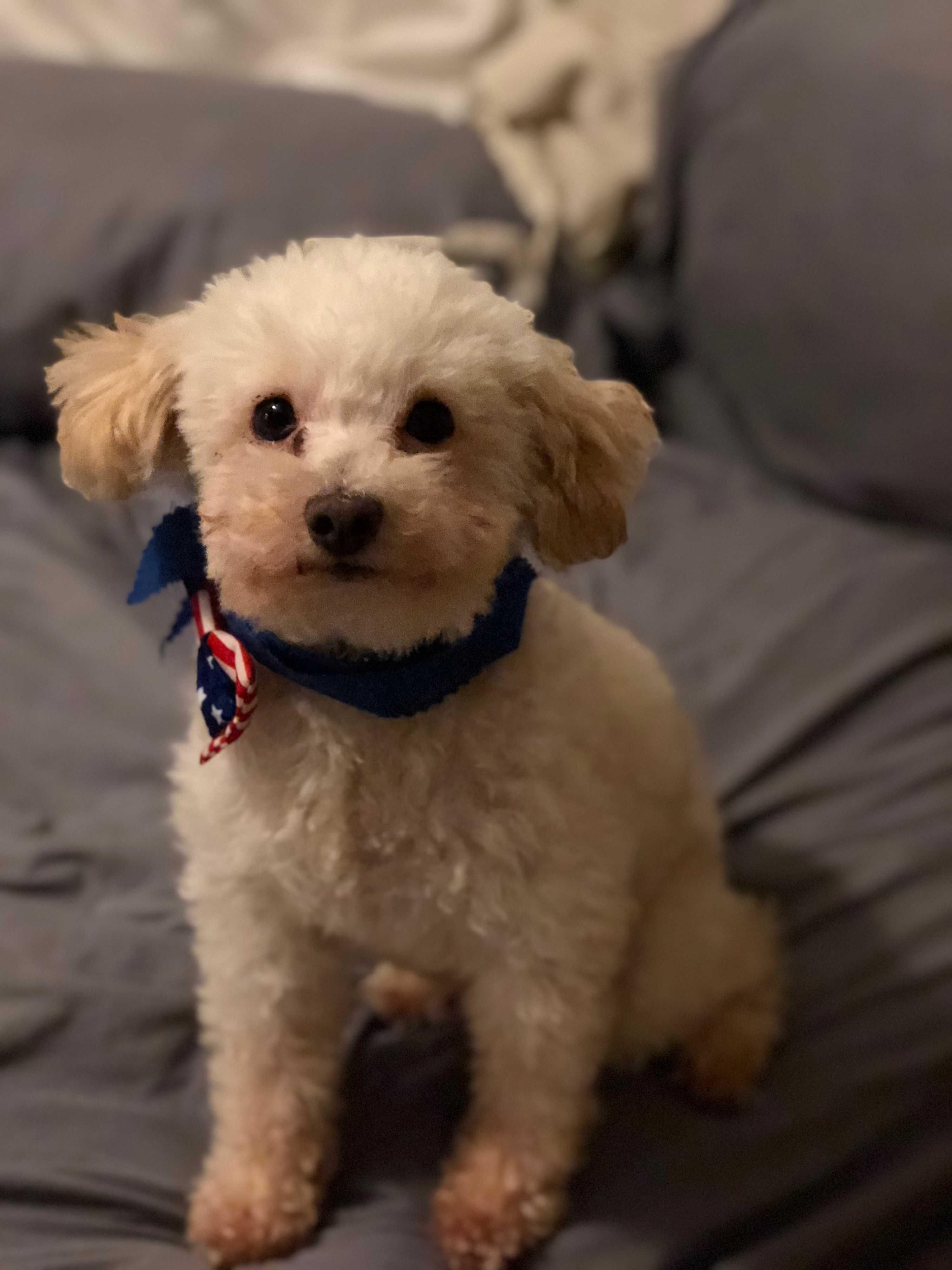 Memphis Tn Miniature Poodle Meet Ollie A Pet For Adoption