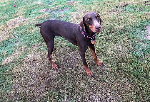 Fort Worth, TX - Doberman Pinscher  Meet Mya a Pet for Adoption