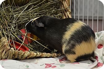 Guinea Pig for adoption in Brooklyn, New York - Volcano