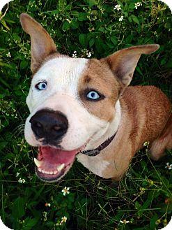 American Bulldog/Husky Mix Dog for adoption in Daytona Beach, Florida - Elijah Blue