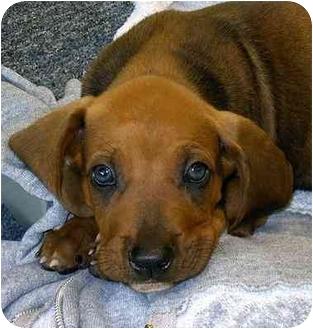 Earleville Md Treeing Walker Coonhound Meet Hound Pups A Pet
