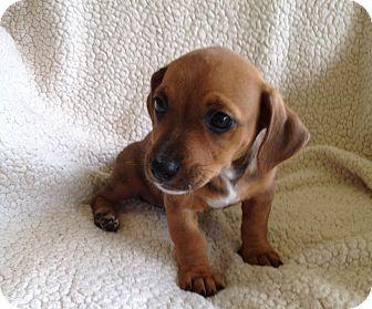 West Palm Beach Fl Dachshund Meet Jlo A Pet For Adoption