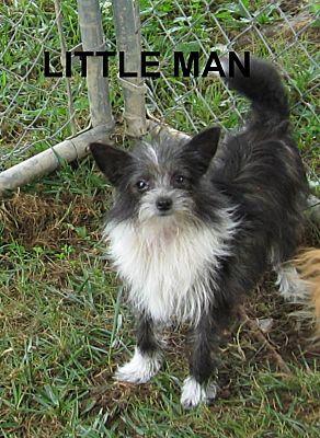 Marlborough Ma Yorkie Yorkshire Terrier Meet Little Man 4 Lap