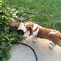 Adopt A Pet :: Sadie a - Albuquerque, NM