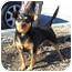 Photo 1 - Chihuahua Mix Dog for adoption in Palmdale, California - Ziggy