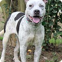 Adopt A Pet :: Bonnie Blue - Starkville, MS