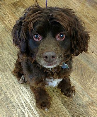Savannah, GA - Boykin Spaniel  Meet Brandy a Pet for Adoption