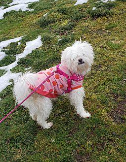 Adopt A Pet :: Buffy  - Renton, WA