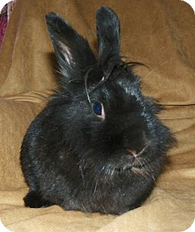 Lionhead Mix for adoption in North Gower, Ontario - Muffin
