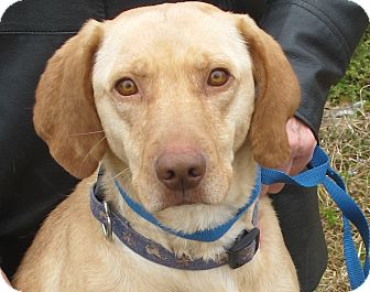 Labrador Retriever Mix Dog for adoption in Harrisonburg, Virginia - Lacie