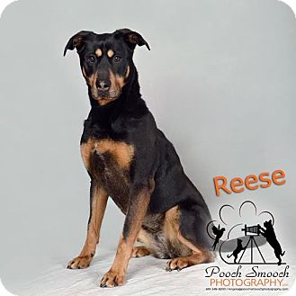 Rottweiler/Rhodesian Ridgeback Mix Dog for adoption in Broadway, New Jersey - Reese