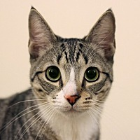 Adopt A Pet :: Shakespeare - Los Angeles, CA