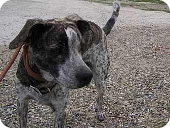 German Shorthaired Pointer/Hound (Unknown Type) Mix Dog for adoption in Chewelah, Washington - Patches