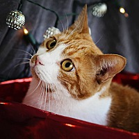 Adopt A Pet :: Olivia - Palmdale, CA