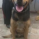Adopt A Pet :: Handsome Dan