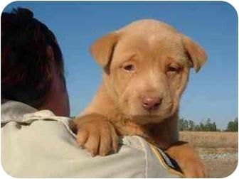 Wilmington Nc Labrador Retriever Meet Puppies A Pet For Adoption