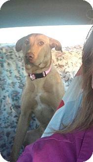 Labrador Retriever/Retriever (Unknown Type) Mix Dog for adoption in Bedminster, New Jersey - Rosie