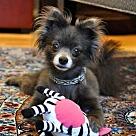 Adopt A Pet :: BLUE IVY