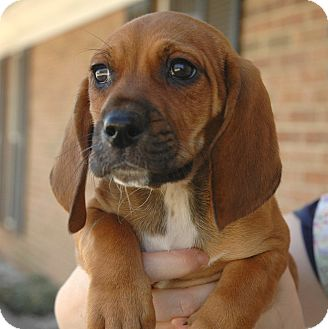 Anderson Sc Basset Hound Meet Ruby Red A Pet For Adoption