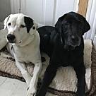 Adopt A Pet :: Shana & Smitty *Bonded Pair*