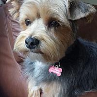 Adopt A Pet :: Gus - Pierrefonds, QC