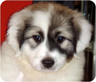 Bloomington Il Great Pyrenees Meet Daisy A Pet For Adoption