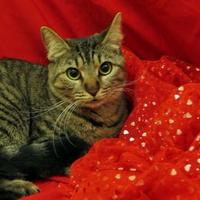 Domestic Shorthair/Domestic Shorthair Mix Cat for adoption in Port Charlotte, Florida - Tia