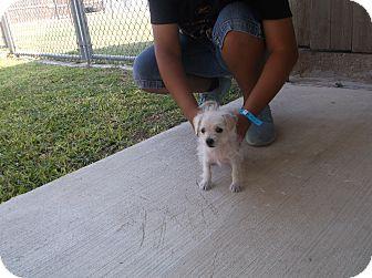 San Antonio, TX - Poodle (Toy or Tea Cup)  Meet Liz a Pet