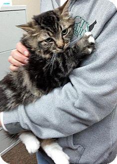 Maine Coon Cat for adoption in HILLSBORO, Oregon - Josephine