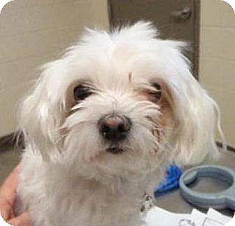 Maltese Mix Dog for adoption in Las Vegas, Nevada - Bonnie