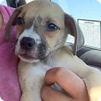 Adopt A Pet :: Male Boxer Mix Pup - Long Beach, CA