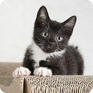 Domestic Shorthair Kitten for adoption in Wilmington, Delaware - Oh