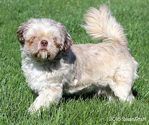 Bedford Va Shih Tzu Meet Chewy A Pet For Adoption