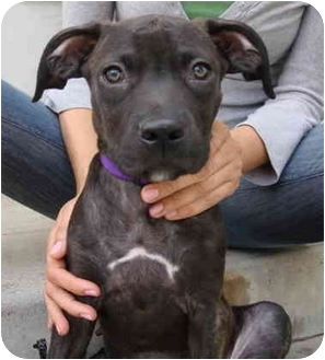 Labrador Retriever/Pit Bull Terrier Mix Puppy for adoption in Los Angeles, California - Spencer