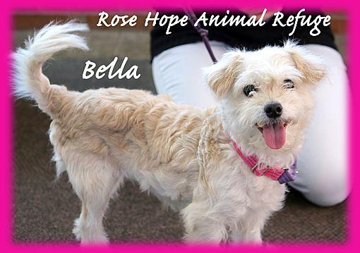 Waterbury, CT - Bichon Frise  Meet Bella, 2-3 Yrs Old Dog a Pet for