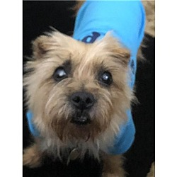 Cairn Terrier Puppies For Sale In Florida Adoptapet Com