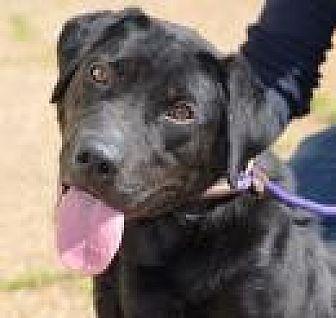 Labrador Retriever Mix Dog for adoption in Jackson, Mississippi - Promise