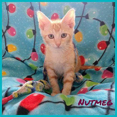 Miami, FL - Domestic Shorthair  Meet Nutmeg a Pet for Adoption