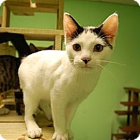 American Shorthair Cat for adoption in Jackson, Mississippi - Miney