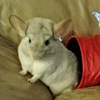 Adopt A Pet :: Lingo & Whitey - NJ - Granby, CT