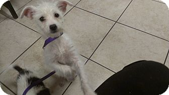 Jack Russell Terrier Mix Puppy for adoption in Burbank, California - Louise