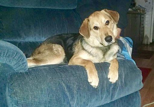 Harrisonburg, VA - German Shepherd Dog  Meet Teddy Bear a Pet for