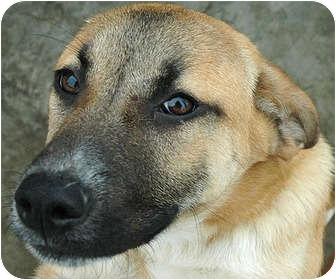 Ripley, TN - English Mastiff. Meet Lola a Dog for Adoption.