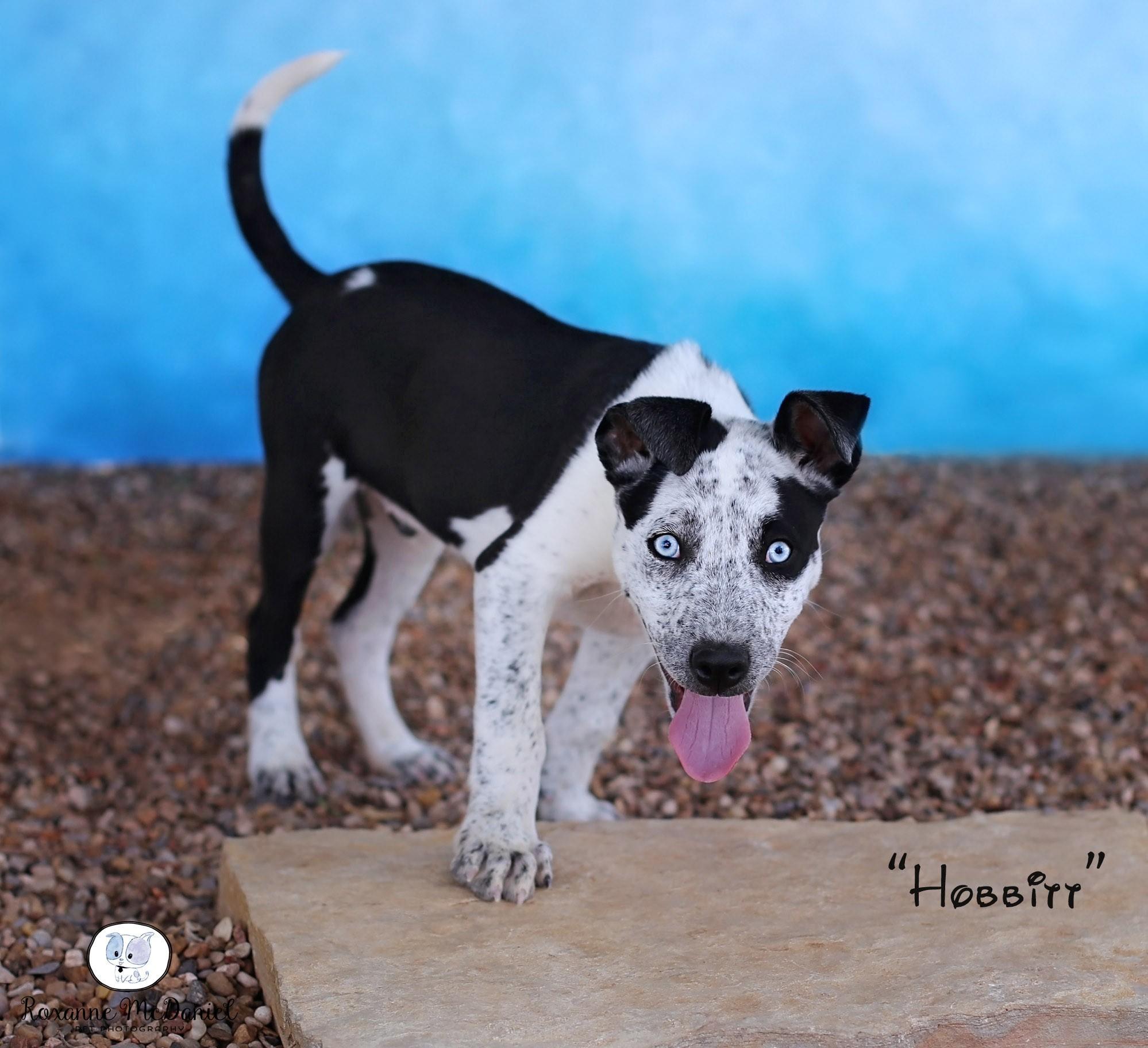 Lubbock, TX - Blue Heeler  Meet Hobbitt a Pet for Adoption